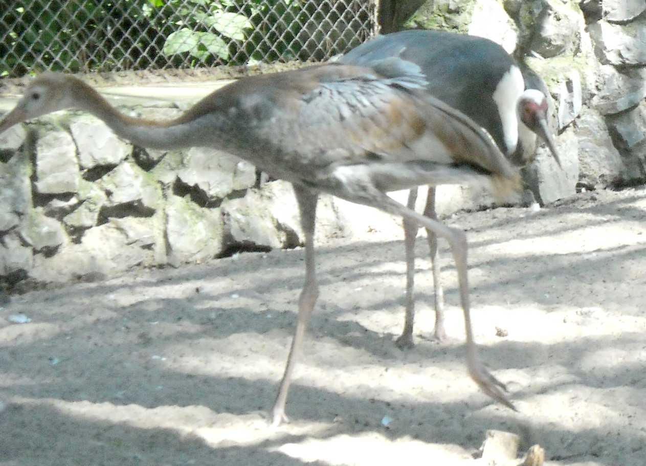 Даурский журавль - Grus vipio  (фото 9072)