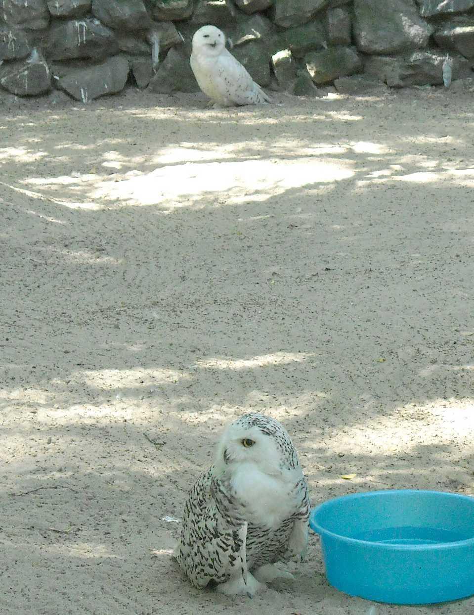 Белая сова - Nyctea scandiaca  (фото 9091)