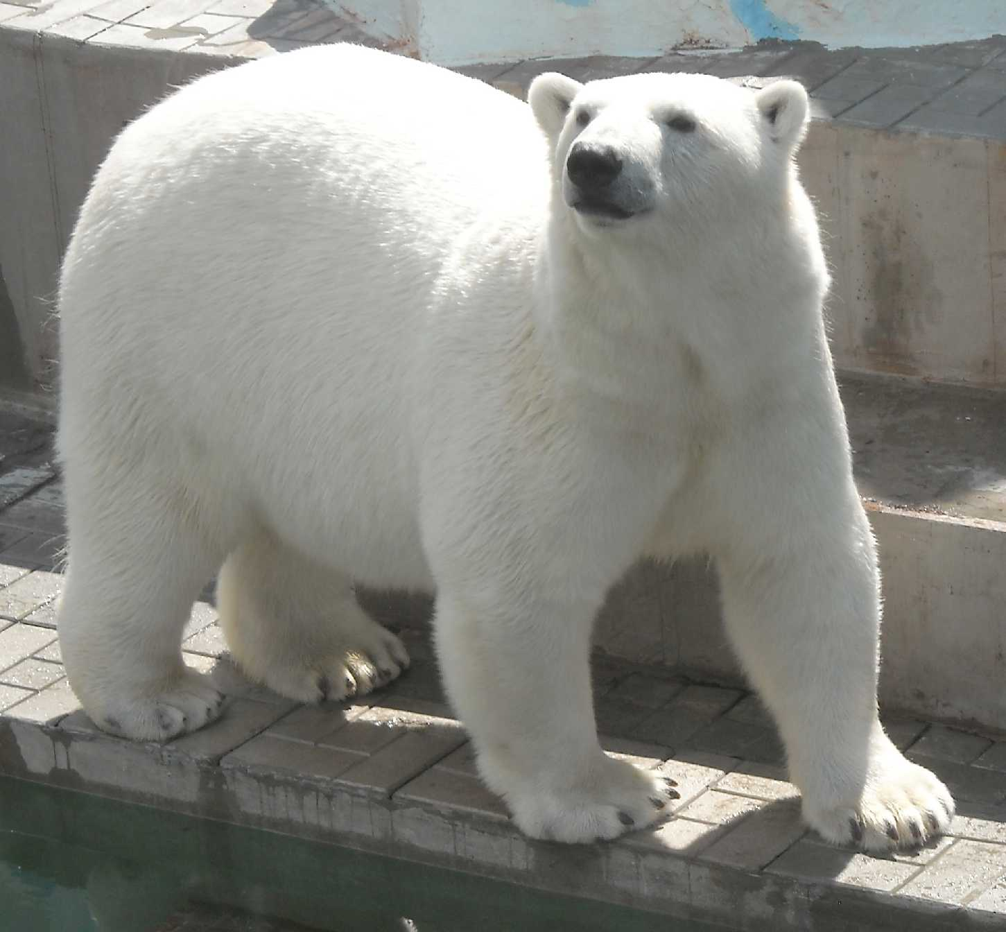 Белый медведь - Ursus maritimus  (фото 9139)