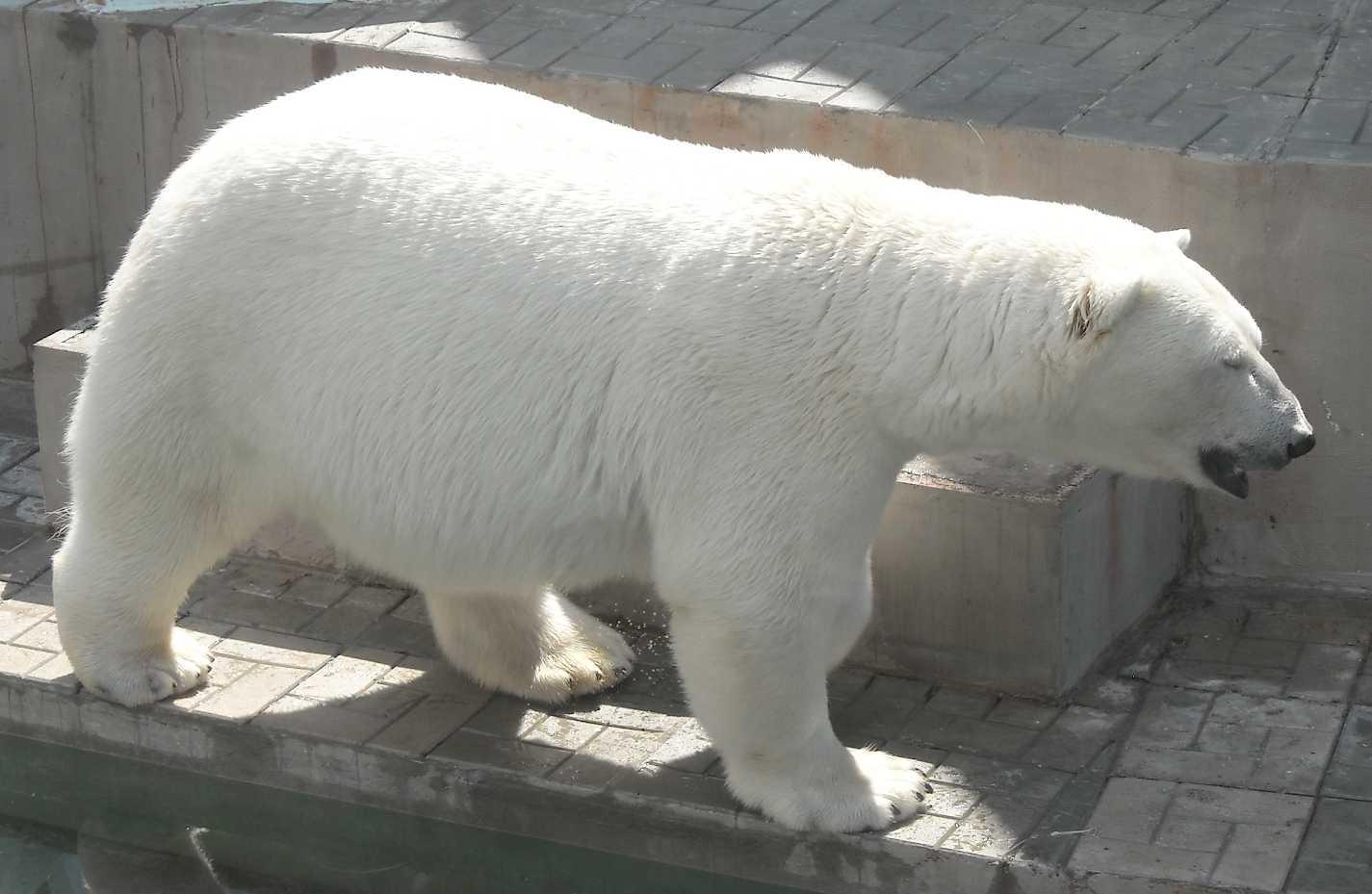 Белый медведь - Ursus maritimus  (фото 9140)