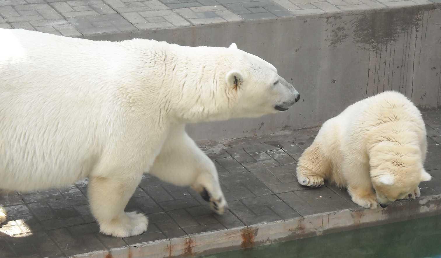 Белый медведь - Ursus maritimus  (фото 9141)