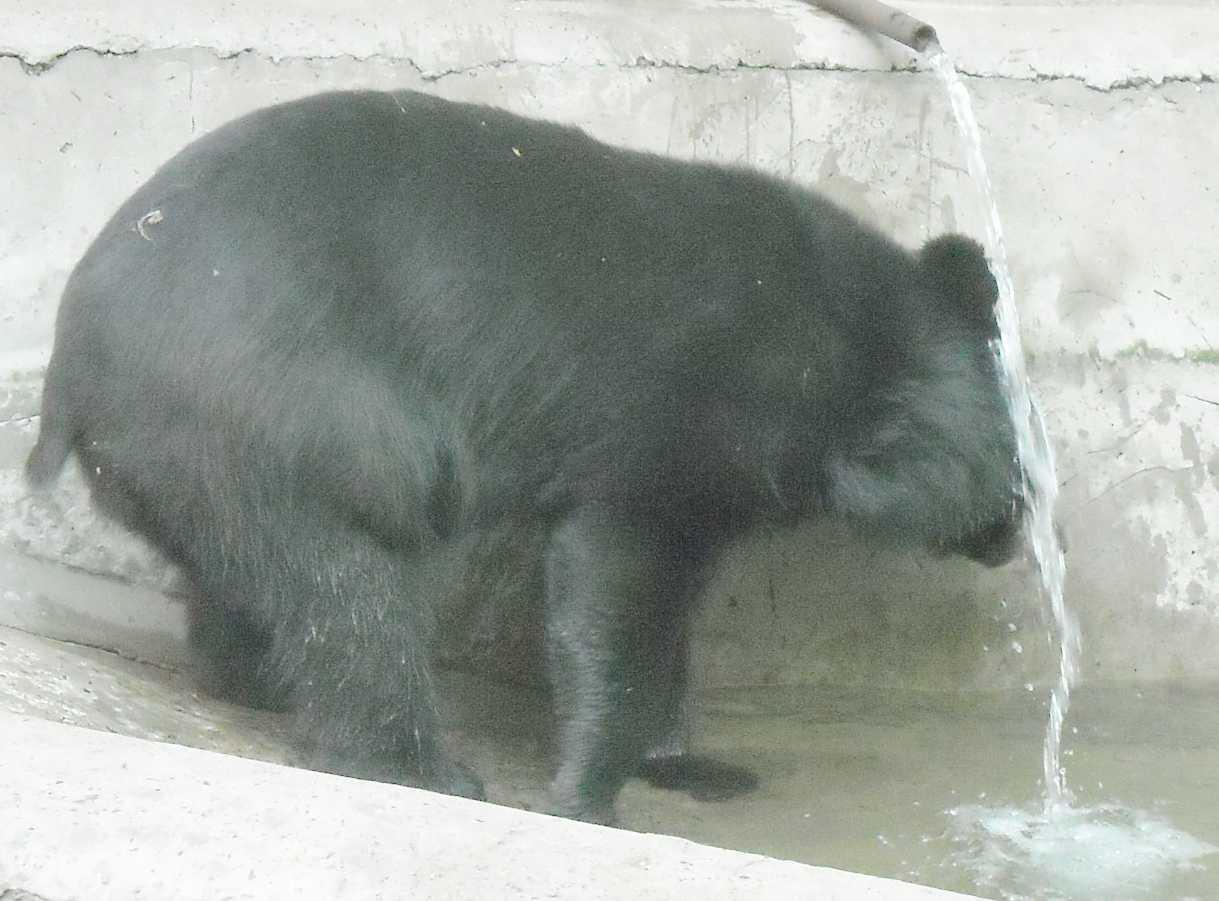 Уссурийский белогрудый медведь - Ursus thibetanus ussuricus  (фото 9505)