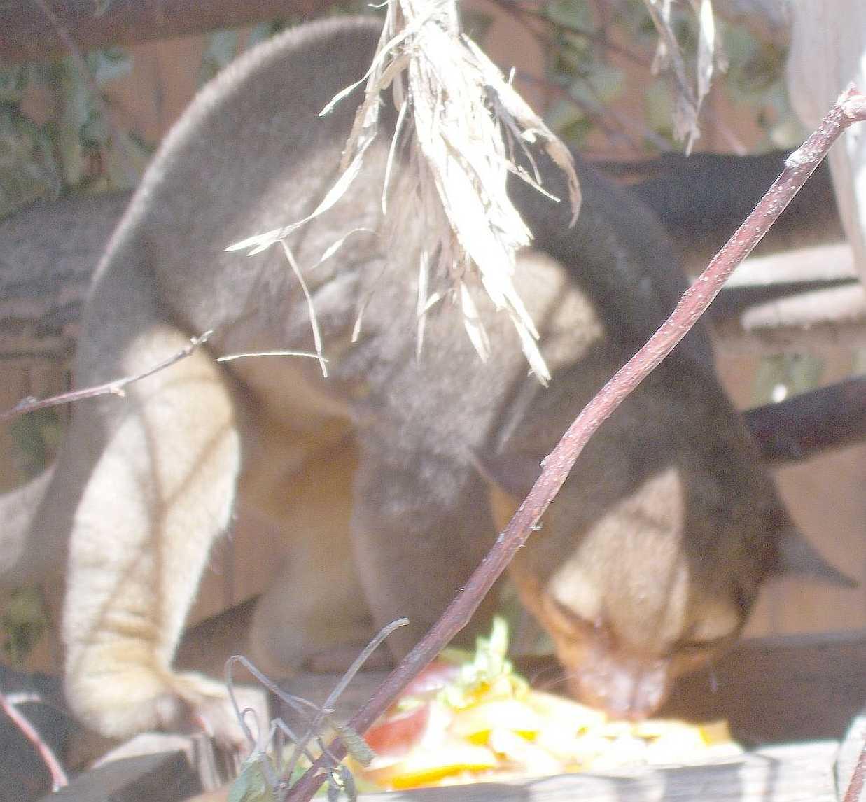 Кинкажу - Potos flavus  (фото 9832)