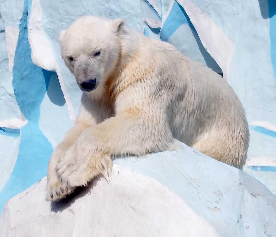 Белый медведь - Ursus maritimus  (фото 9897)