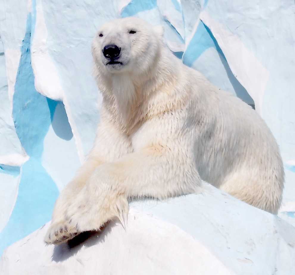 Белый медведь - Ursus maritimus  (фото 9898)