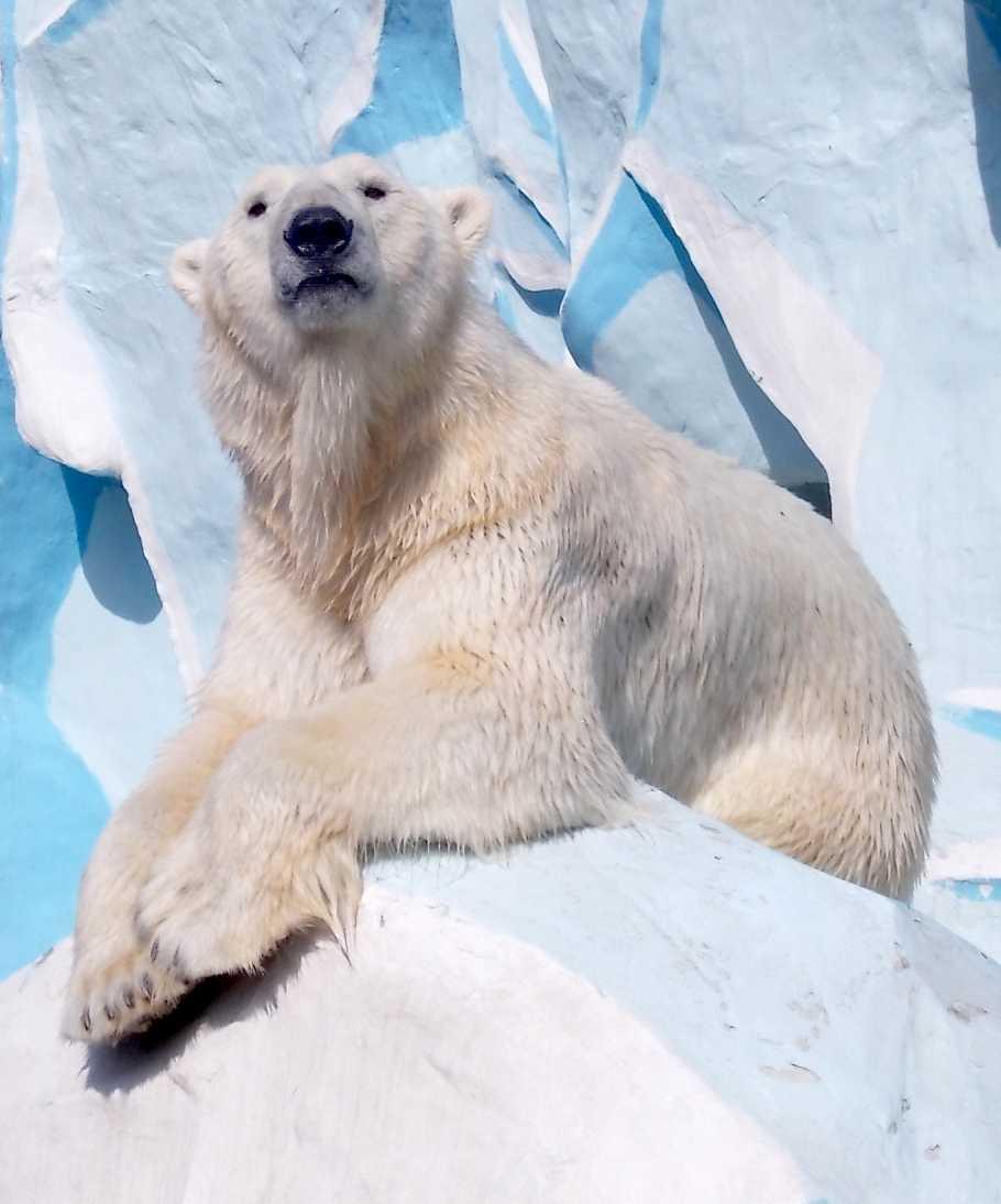 Белый медведь - Ursus maritimus  (фото 9899)