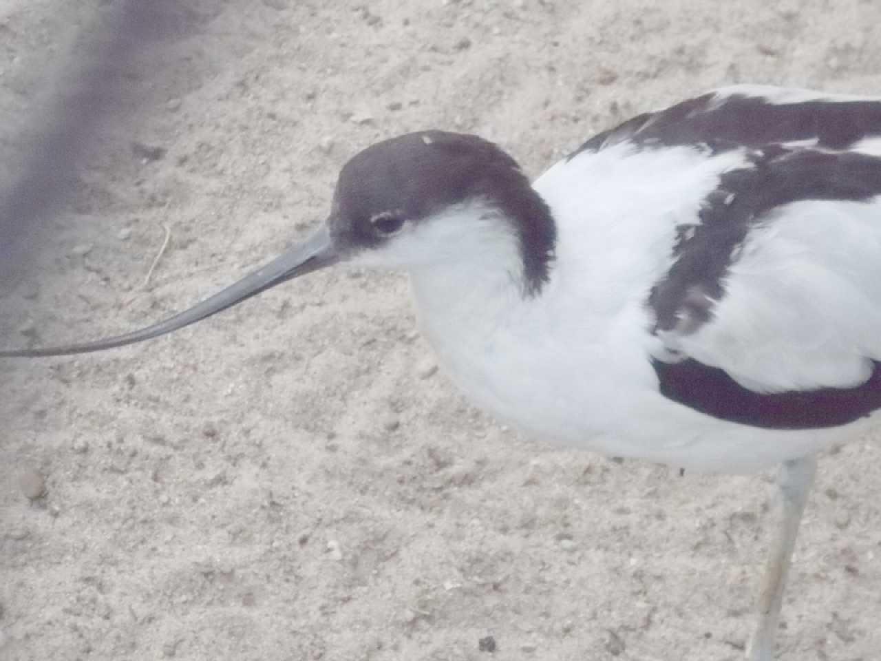 Шилоклювка - Recurvirostra avosetta  (фото 9922)