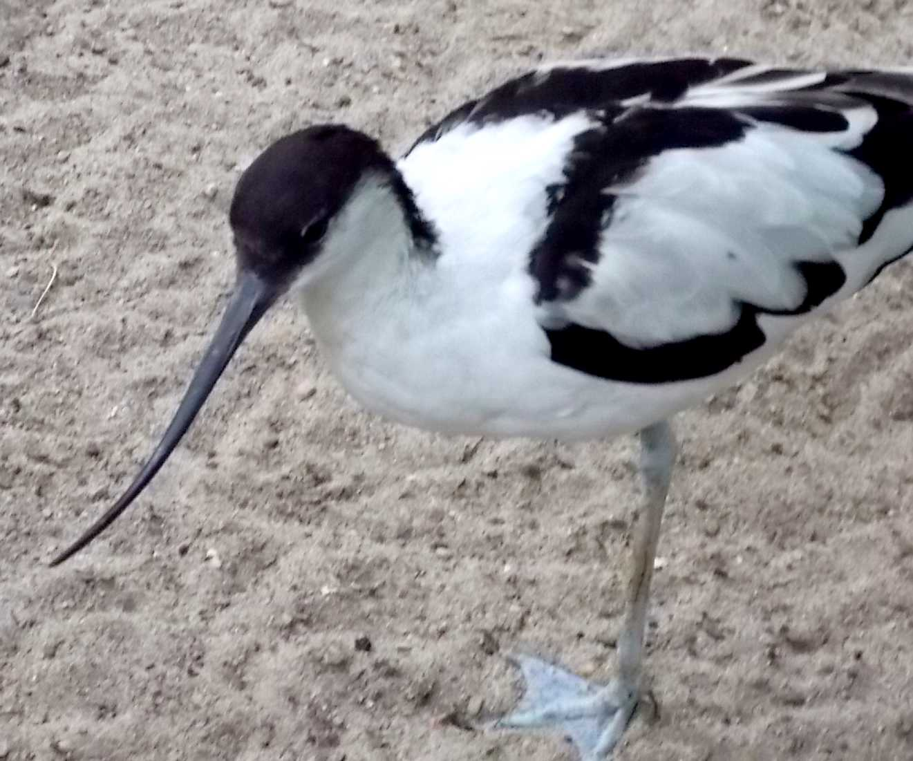 Шилоклювка - Recurvirostra avosetta  (фото 9923)