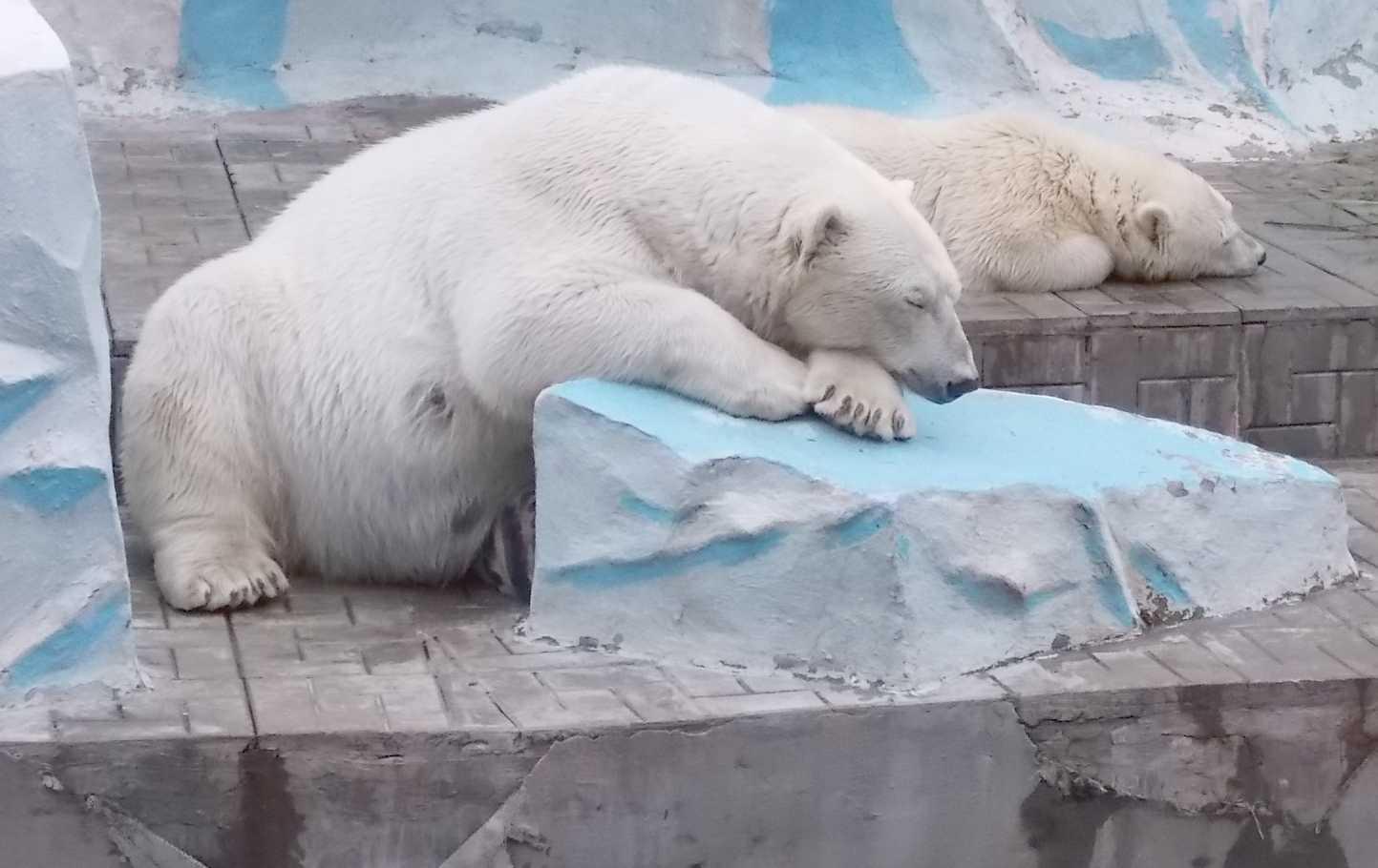 Белый медведь - Ursus maritimus  (фото 9994)