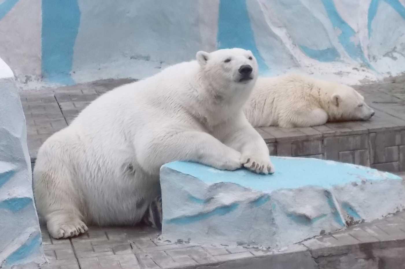 Белый медведь - Ursus maritimus  (фото 9995)
