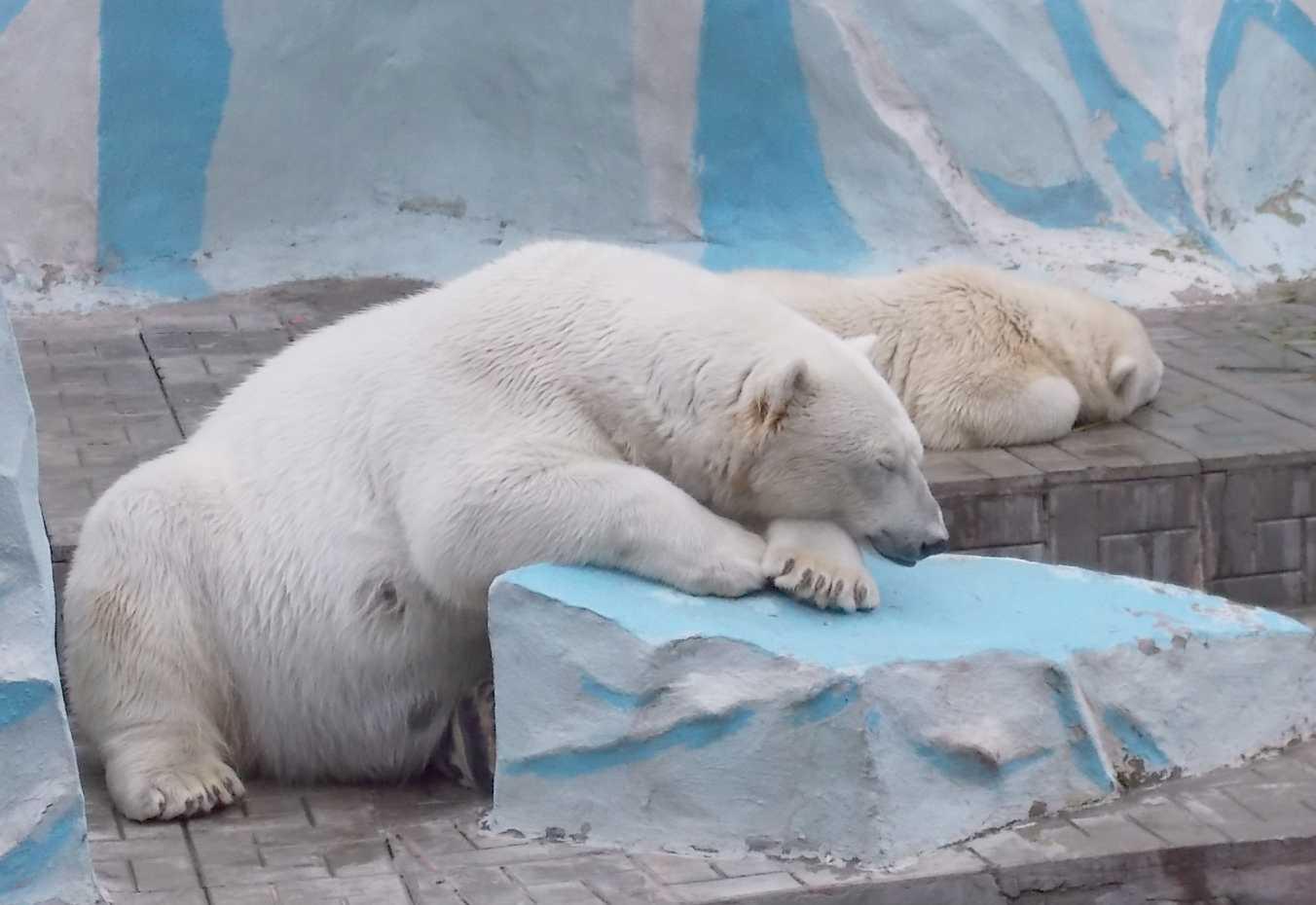 Белый медведь - Ursus maritimus  (фото 9996)